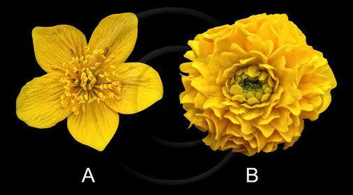 Sumpfdotterblume (Caltha palustris): A = Wildform B=Gefüllte Zuchform