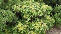 Entelea arborescens, whau , New Zealand Mulberry, Corkwood, Cork Tree.