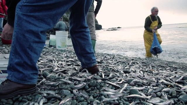 Chattin' 'bout Capelin with locals in Newfoundland Labrador by Patrick Dunn. This is  video of some locals snatching up a few Caplin as they roll in on the beach just outside St. John's, Newfoundland Labrador.