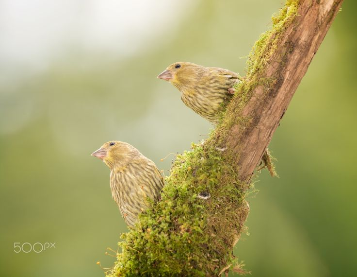 there is something - two green finch are standing on a tree branch with moss