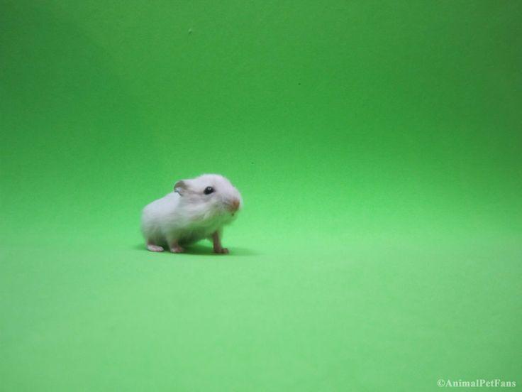 https://flic.kr/p/FdcXZ3   Filhote de hamster anão russo