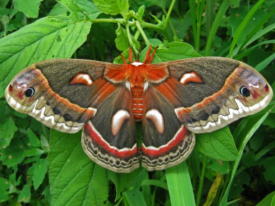 Hyalophora cecropia The Cecropia Moth is North America's largest native moth. It is a member of the Saturniidae family, or giant silk moths. Females with a wingspan of six inches or more have been documented. [Wikipedia]