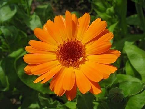 Image result for october birth flower calendula