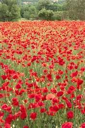 In Flanders fields...