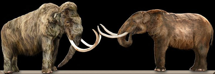 A Wooly mammoth (lef) and an American mastodon (right) facing each other, showing the physical differences between the two extinct animals.