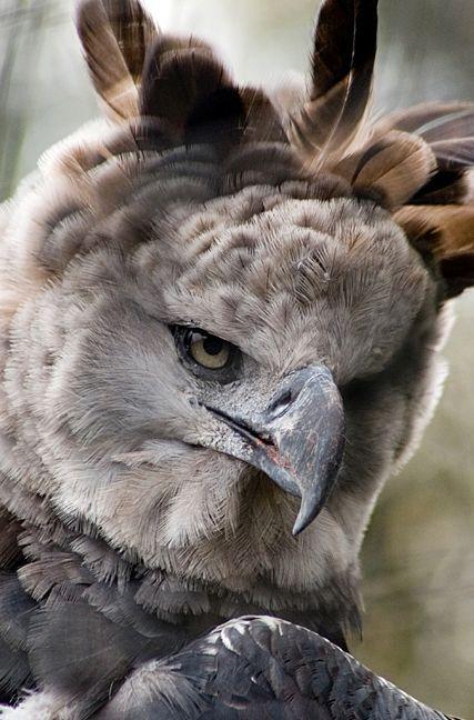 La arpía mayor, águila harpía o simplemente harpía (Harpia harpyja) La cresta y corona de plumas, además de señal fanérica, tiene la función de redirigir los sonidos hacia sus oídos, que sumados a unos ojos de aguda vista le permiten percibir rápidamente los menores movimientos de sus presas entre las espesas frondas. Ocupa el dosel superior de los bosques, y acostumbra estar cerca de los «barreros» (sitios con sal aflorante), donde se encuentran varias especies de mamíferos.