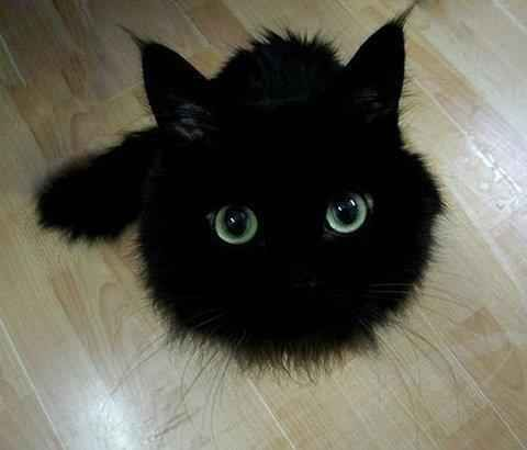 81 Astounding Facts About Cats :) this black cat looks like a puffle from disney's Club Penguin. Lol