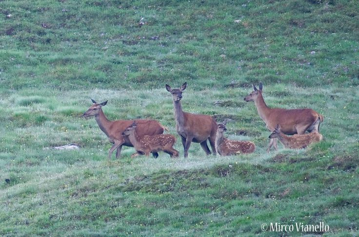 tre femmine di cervo con i loro rispettivi nati dell'anno.  per saperne di più sul cervo : http://www.livignese.it/cervo.php