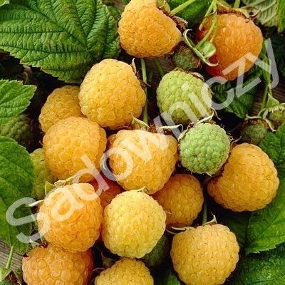 #Malina żółta w pojemniku #krzew #ogród Sklep Internetowy Wysyłka gratis od 99zł http://www.sadowniczy.pl/product-pol-115694-Malina-zolta-w-pojemniku.html?utm_source=pucek&utm_medium=pin
