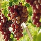 #7 Red Grapes