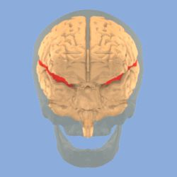 Lateral sulcus.gif