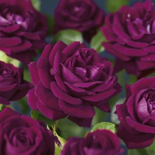 Klaserose 'Burgundy Ice'