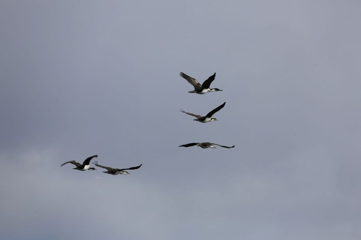 Richard joined Oceanwide Expeditions for an Antarctic Circle cruise and photographed these birds.