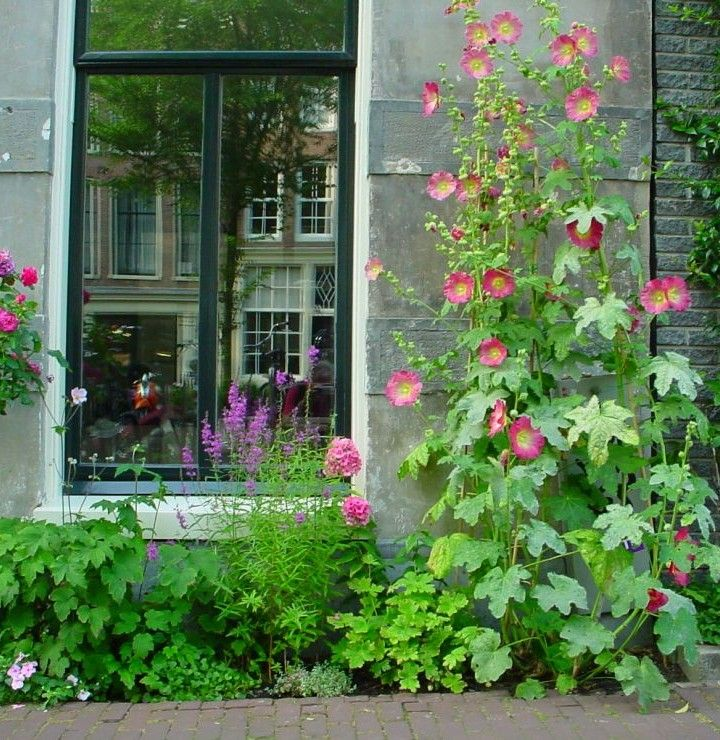 Frontage garden in Antwerp (Belgium) with hollyhocks. It is estimated that there are about a thousand frontage gardens in the city. Geveltuinen.