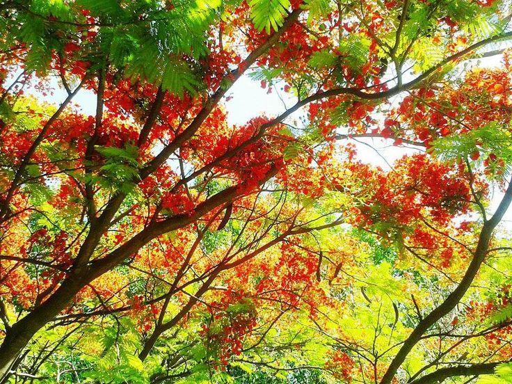 Spring red tree