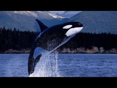 Orcas Asesinas - HD - Nat Geo Wild | Inteligencia al máximo - YouTube