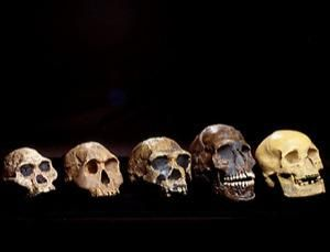 Five skulls belonging to some ancestors and relatives of modern humans. From left to right, the skulls are: Australopithecus africanus (3-1.8 mya); Homo habilis (or H. rudolfensis, 2.1-1.6 mya); Homo erectus (or H. ergaster, 1.8-0.3 mya, although the ergaster classification is generally recognised to mean the earlier part of this period); a modern human (Homo sapiens sapiens) from the Qafzeh site in Israel, which is around 92,000 years old; and a French Cro-Magnon human from around 22,000…