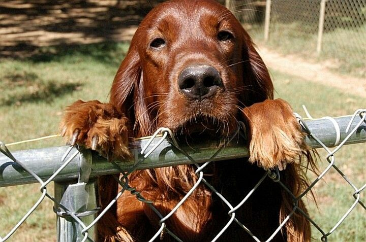 453 best red dogs images on pinterest
