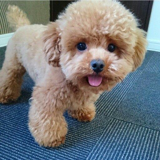 Precious Poodle.. MUAH!