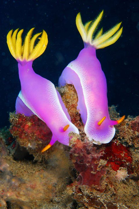 Nudibranch, sea, sea life, life, animals, ocean, oceans, ocean life, aquatic, aquatic animals, fish, fishes, marine, marine biology, water, under water life