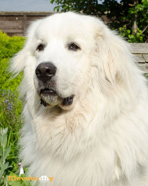 Great Pyrenees I want one like I used to have who was a 130 pound fuzz ball of love and snuggles who was scared of storms - hazel j