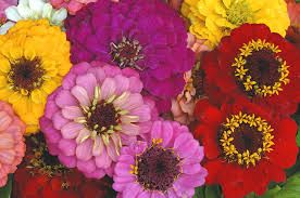 zinnia wedding flowers - colorful zinnias