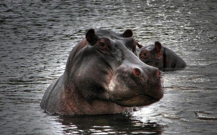 Hippopotamus Images | Sky HD Wallpaper