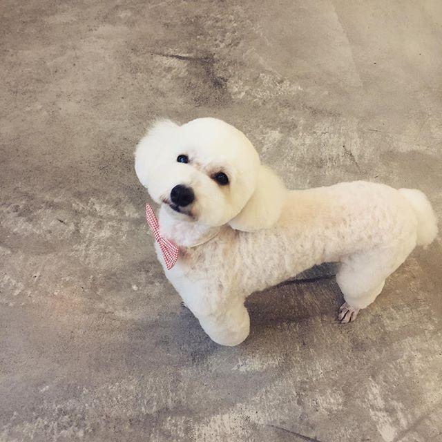 とってもおりこうさんな、このはちゃん♡ #dog #dogstagram #dogdays #instadog #doglover #doglife #dogpark #犬 #愛犬 #わんこ #犬のいる暮らし #わんこのいる暮らし #犬バカ部#クロクマ舎#グルーミング#トリミング#明和町#トイプードル