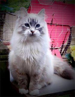 Snugglepuss Pedigree Cats - Neva Queens