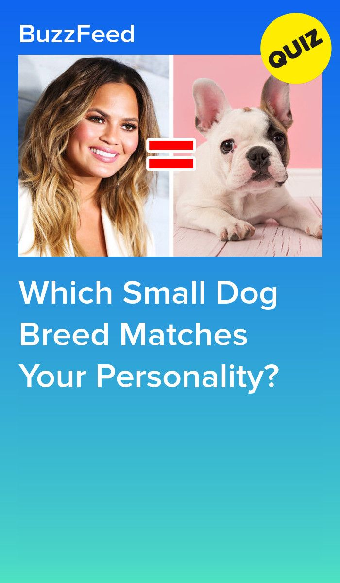 Which Small Dog Breed Matches Your Personality Small Dog Breeds Dog Breeds Dog Breed Quiz