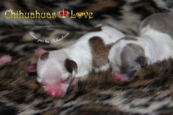 Chihuahuas Love - Chihuahuas Gratis. Chihuahuas Regalados. Conseguir las Cosas Gratis.