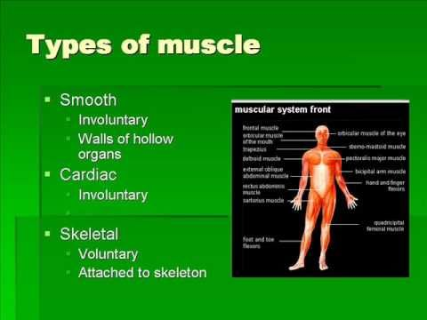 The Muscular System - Human Body Video for Kids by www.makemegenius.com - YouTube
