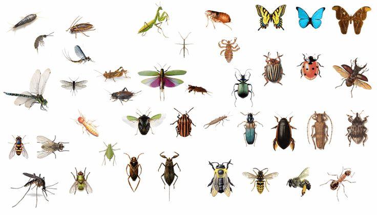 dibujos de la clasificación de los insectos - Buscar con Google