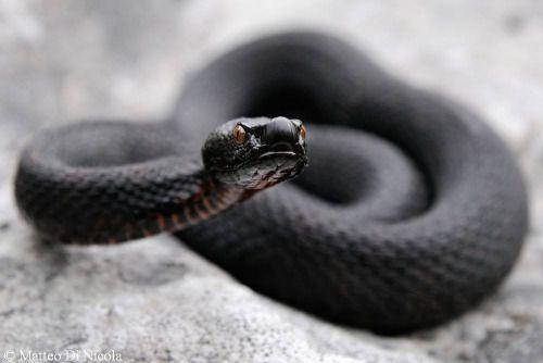 exotic-venom  (Vipera aspis atra) black adder, black viper