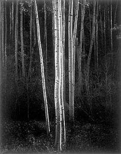 Ansel Adams - Aspens, 1958. Northern New Mexico. Adams was an environmentalist and is best known for his black-and-white landscape photographs of the American West, especially of Yosemite National Park.