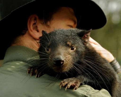 """Adrian Good, a keeper at Devil Ark in the Barrington Tops area of Australia's New South Wales, holds """"Scooter"""" a 14-month old Tasmanian Devil. At Devil Ark a group of endangered Tasmanian Devils are being taught to forage in the wild as researchers race to defeat a contagious cancer threatening the species with extinction. (AFP Photo/Greg Wood)"""