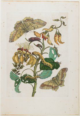 Caterpillars, Butterflies and Flower,  Maria Sibylla Merian