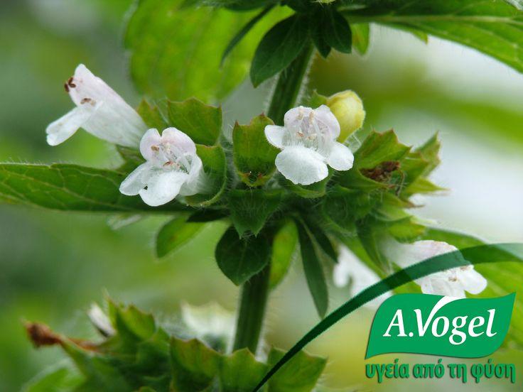 Ο Καρλομάγνος είχε ζητήσει να φυτέψουν μελισσόχορτο σε κάθε κήπο λόγω της ομορφιάς του. Έχει χρησιμοποιηθεί παραδοσιακά από φυτοθεραπευτές για την αντιμετώπιση του μετεωρισμού, της αϋπνίας και διαταραχών της καρδιάς.Επιπλέον, έχει χρησιμοποιηθεί τοπικά, στους κροτάφους για την αντιμετώπιση νευρικών πόνων και της αϋπνίας. Βάμμα φύλλων μελισσόχορτου φρέσκιας συγκομιδής και ελεγχόμενης βιολογικής καλλιέργειας θα βρείτε στο φυτικό διεγερτικό της πέψης Yarrow (Gastrosan)