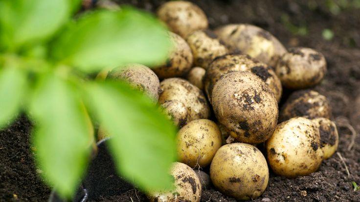 Sugen på att odla egen potatis? Det är både enkelt och roligt — så här gör du för att få fart på potatisen ute i trädgårdslandet, i en hink eller i...