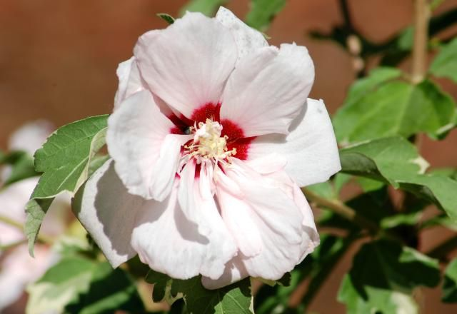 Everything You Need to Know about the Rose of Sharon Bush: Sugar Tip rose of sharon not only has bicolored flowers, but also variegated foliage.