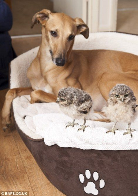 Orphaned baby owls and a whippet <3: Babies, Dogs, Babyowls, Adorable Animals, Baby Owls, Pets, Animal Friendships