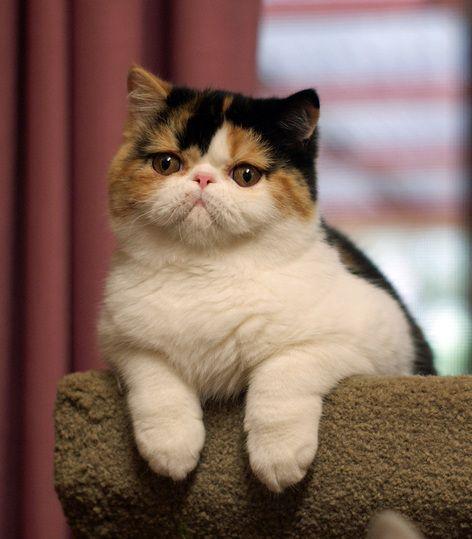 Flat Face Cat Breeds