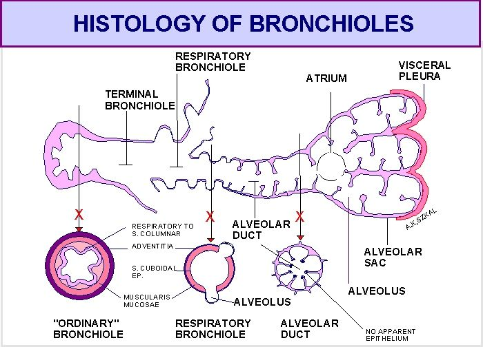 Illustrates the microanatomy of bronchioles and alveolar