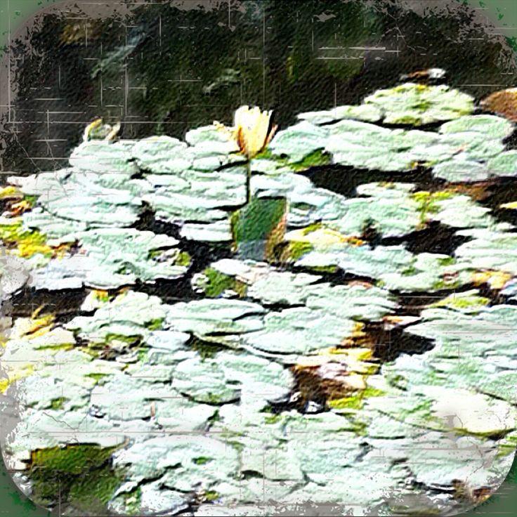 Näckros, water lily
