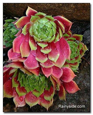 Sempervivum 'Mars': Hens And Chick Succulents, Color Succulents, Sempervivum Mars, Hens And Chick Plants Ideas, Magic Gardens, Container Plants, Hens & Chick Plants, Mars Succulents, Gardens Succulents