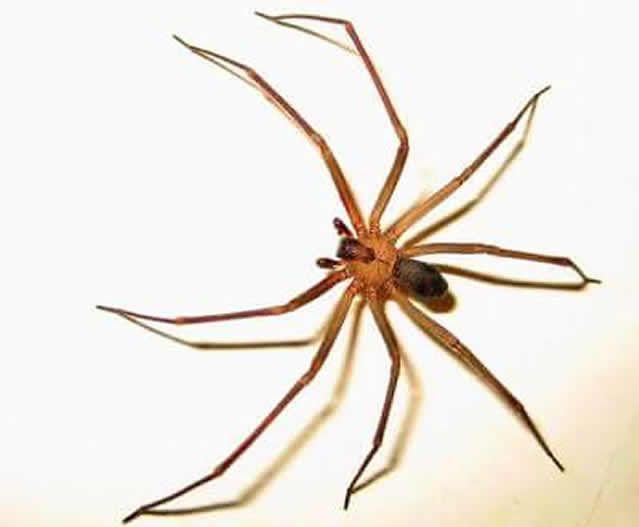 """La araña conocida como """"violinista"""" se ha convertido en un serio peligro para la población en general y por ello algunas dependencias del sector salud, como la de Baja California han emitido una serie de medidas precautorias y de atención, en caso de tener un incidente relacionado con la picadura de esta araña."""