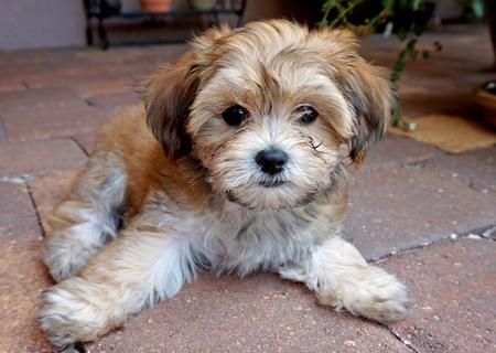 Huckleberry Finn the Havanese Mix/Cavalier King Charles Spaniel Mix. He is the cutest little bundle of fur.