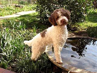 Lagotto Romagnolo great family pet that loves water and