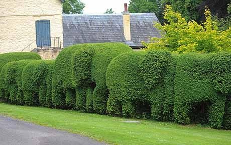 Gavin Hogg has turned the hedge outside his kitchen window into a herd of elephants.
