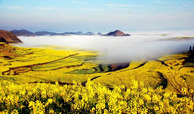 Canola flowers in the Luoping Valley, China